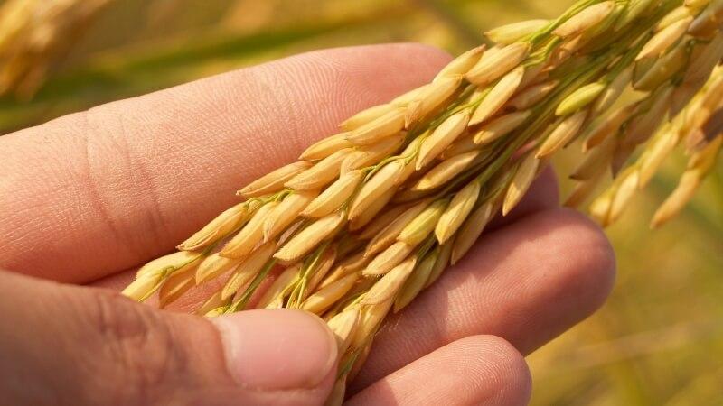 稲についた籾